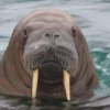 I Am The Walrus's Photo
